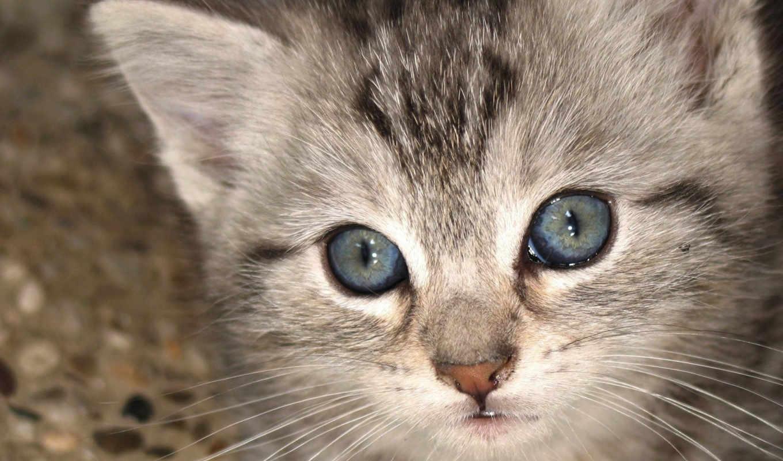 wallpaper, hd, desktop, скачать, взгляд, fotos, zoo, up, cat, котенок, animals, cats, kittens, close, lindo, gatito, gris,