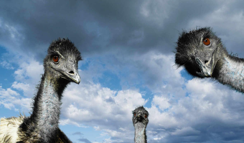 страусы, животные, wallpaper, ostriches, ostrich, гопники, семки, hd, desktop, есть, wallpapers, خلفيات, download,