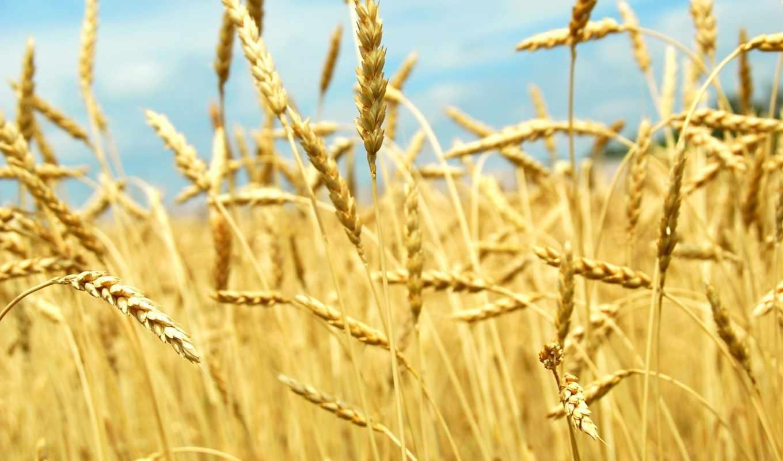 обои, пшеницы, поле, колоски, фото, колосок, тип,