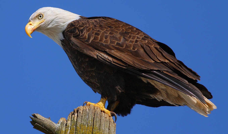 орлан, белоголовый, животные, главная, обои, птица