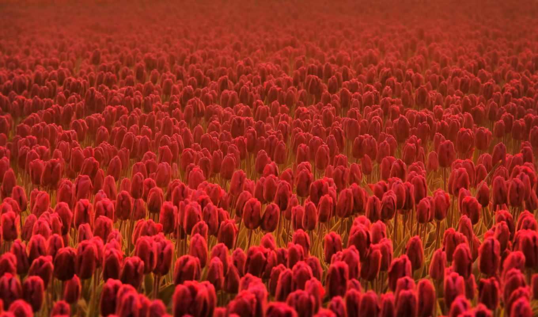 цветы, тюльпаны, весна, качестве, базе, цветки,