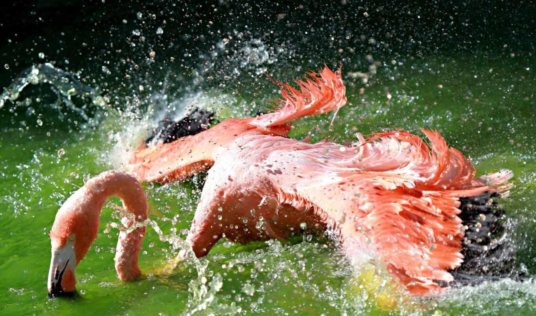 voda, bryzgi, фламинго, птица, telefon, категории, zhivotnye, крылья,