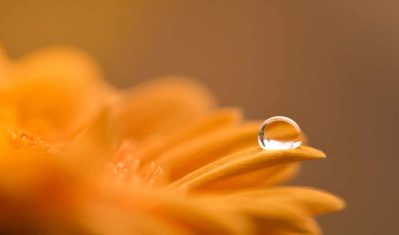 gerbera, капля, лепестки, цветок,