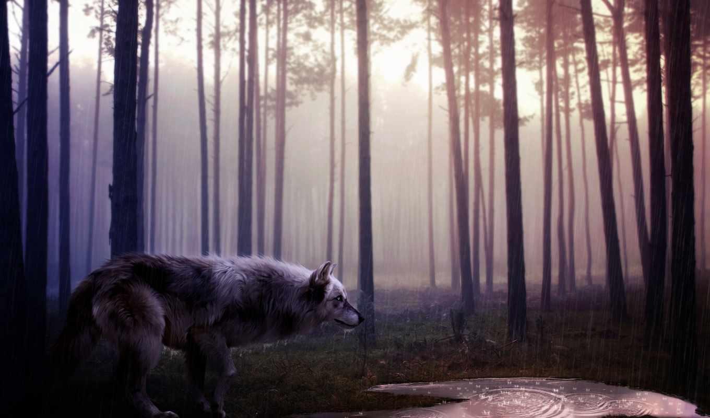 волк, desktop,