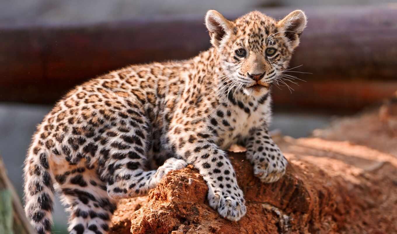 животные, детёныш, обои, леопард, котёнок, детеныш