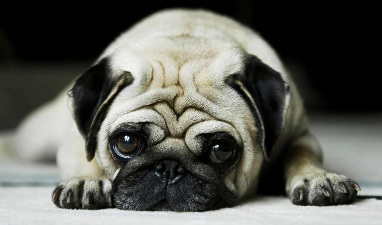 мопс, собаки, грустный, кошки,