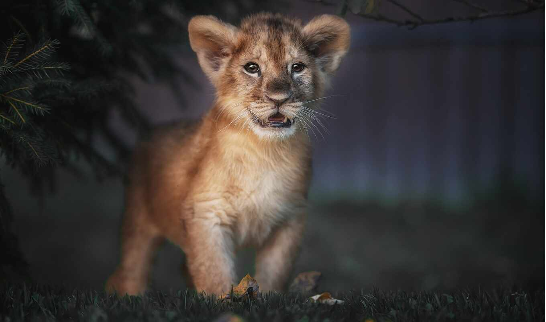 mobile, детёныш, lion