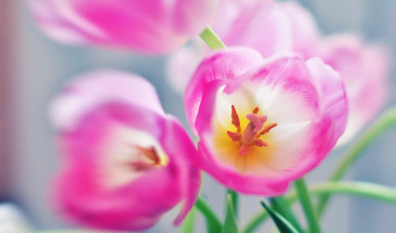 цветы, тюльпаны, макро, картинка,
