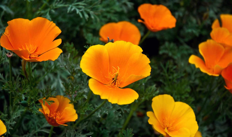 flowers, orange, цветы, click,