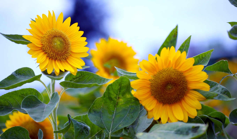 sunflowers, подсолнухи, summer, цветы, desktop, download, field, óðò, солнечные, подсолнечник, фотографии, макро,