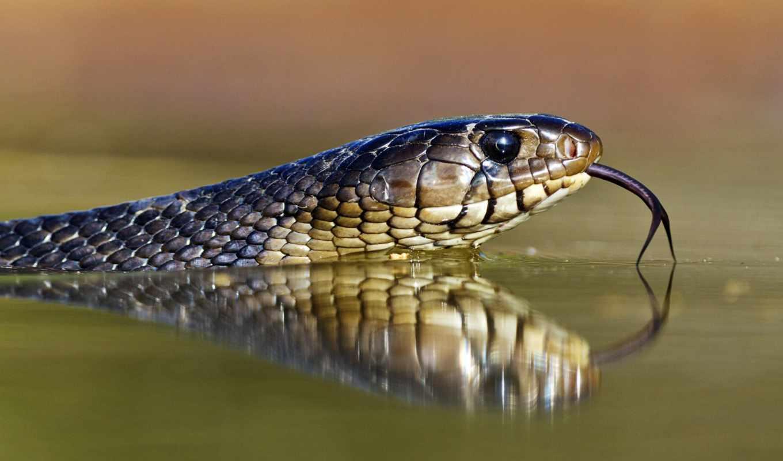змея,