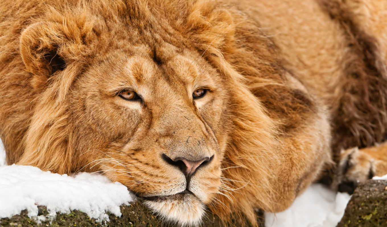 lion, лежит, молодой, морда, кот, большая, задумчивая, снегу,