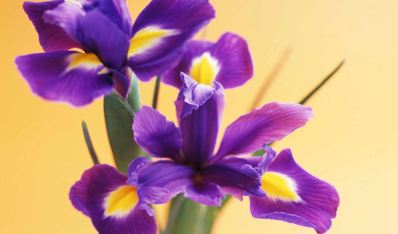 цветы, ирисы, iris, ирисов,