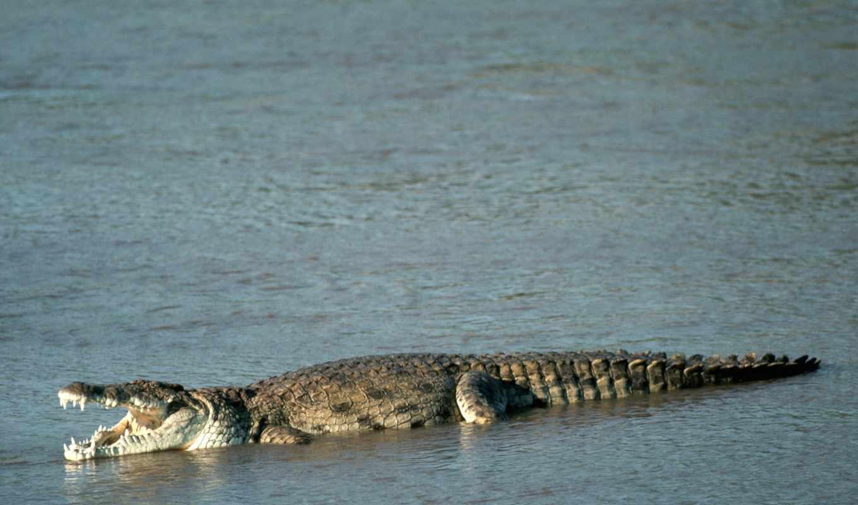 крокодил, нил, крокодила, крокодилов,