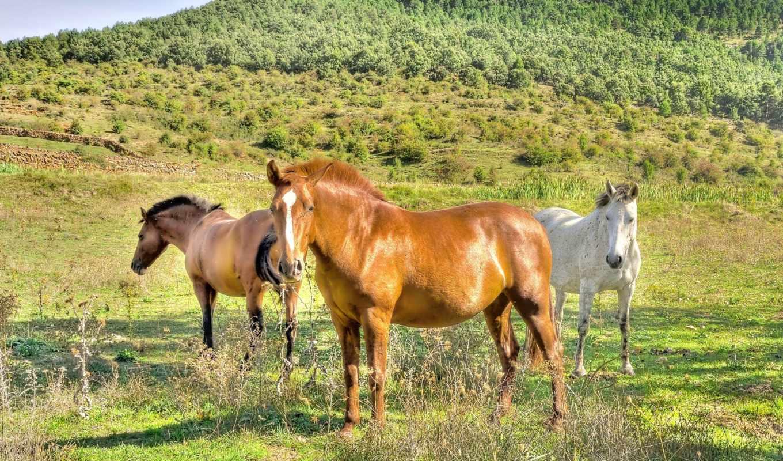 лошади, лошадь, поле, белая, природа,