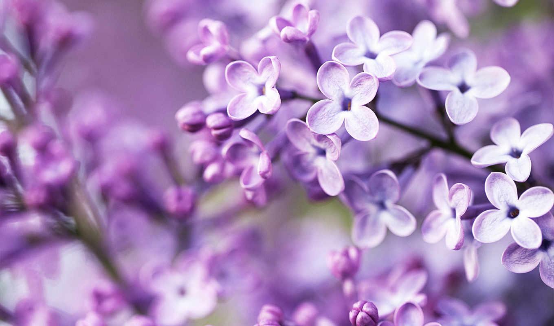 flowers, purple, white, цветы, сиреневый, об,