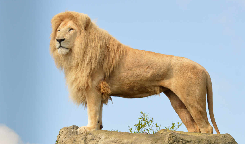 lion, card, трансваальский, zhivotnye, лео, panthera, lat, indian, грива, asian, animal,