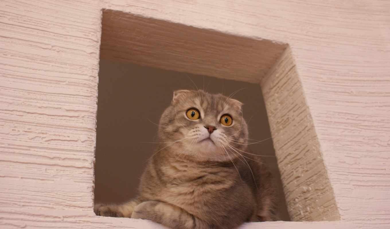 кот, британец, свет, окно, розовый, zhivotnye, кошки,