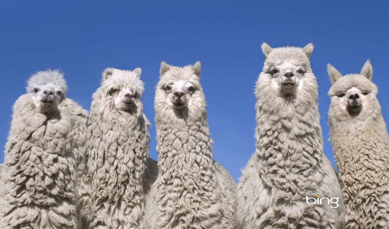 llamas, best, alpacas, llama, het, ван, you, снегоступы,