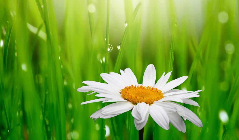 ромашки, цветы, ромашка, клипарт,
