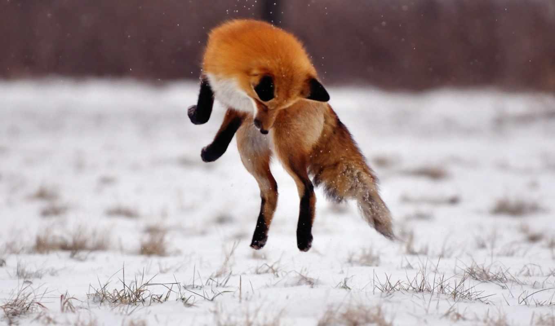 фокс, огонь, снег, winter, zhivotnye, animals, posts, прыжок,