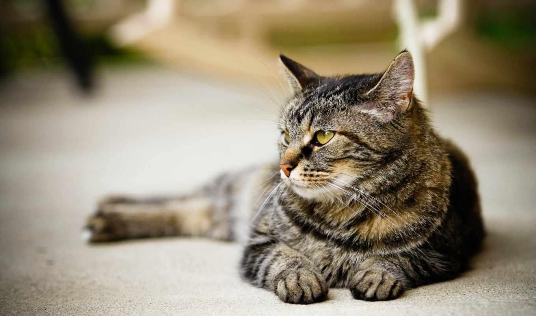 кошки, взгляд, кот, zhivotnye, свет, лежит, котятами, котами, кошками,