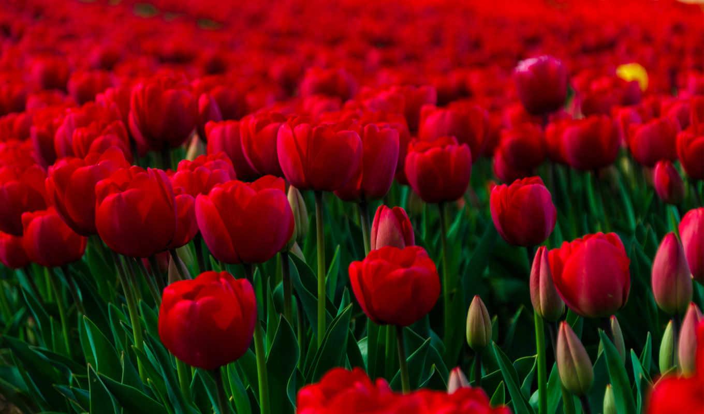 поле, тюльпани, тюльпаны, червоні, красные, тюльпанами, цветы, цветочное,