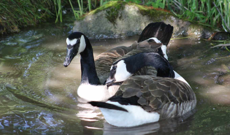 озеро, free, фотографий, swim, zhivotnye, добавления, гуси, птицы,