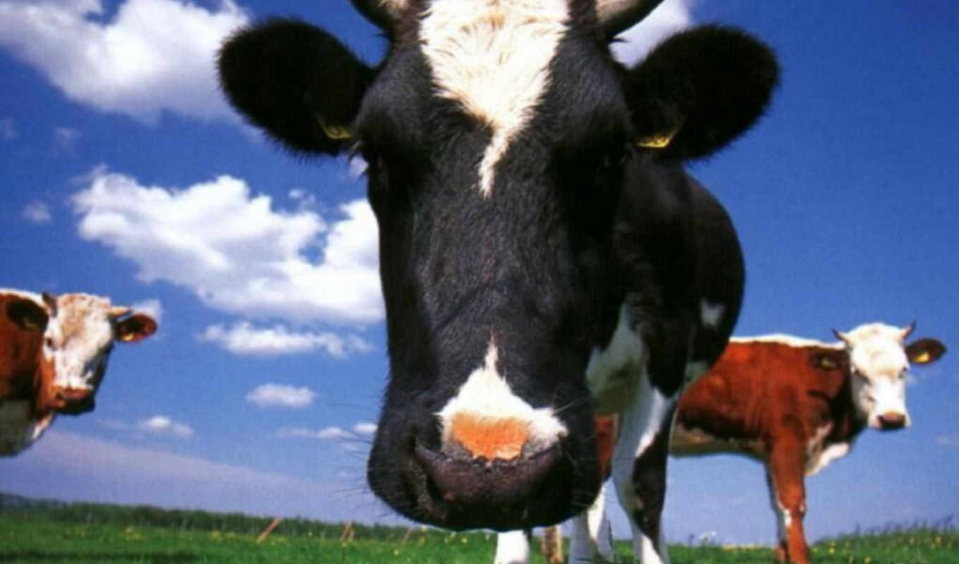 cow, animals, homepage,