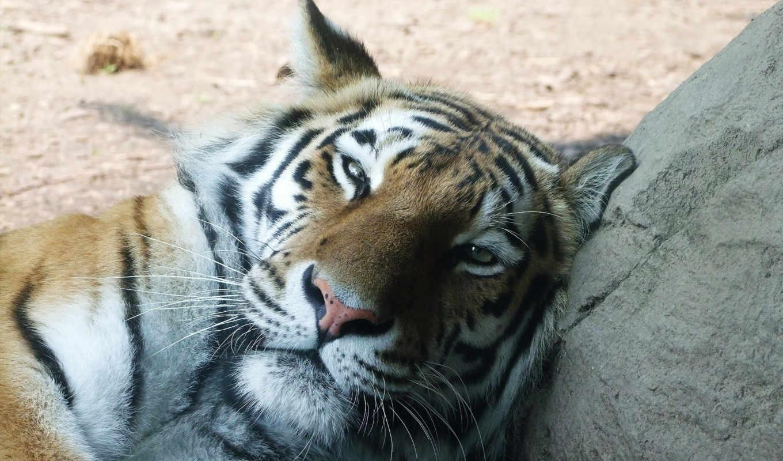 тигр, большой, кот, рыжий, дремлет,