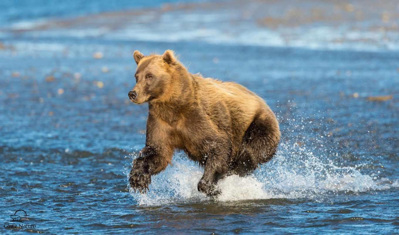 животные, run, медведи, брызги, лошади, собаки, смотреть, cook, обою, water, размере, истинном,