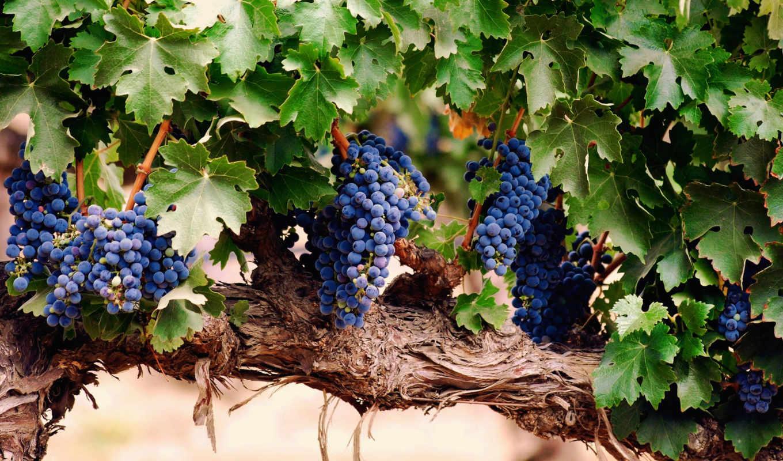 лоза, гроздь, листья, виноград, виноградная, кисть,
