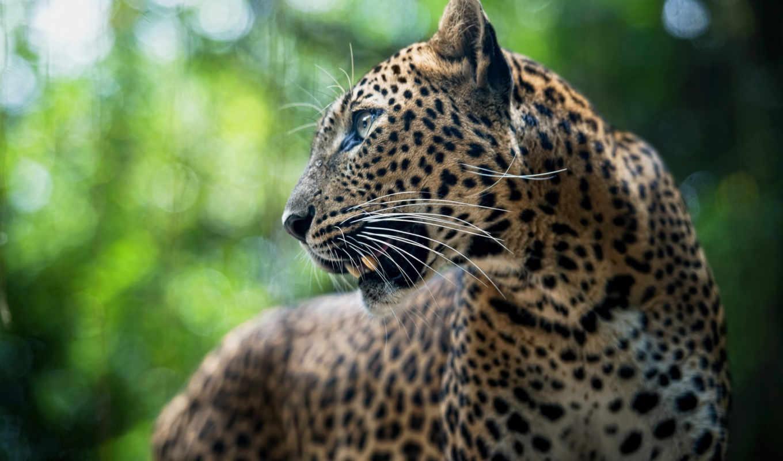 , леопард, кошка, хищник,