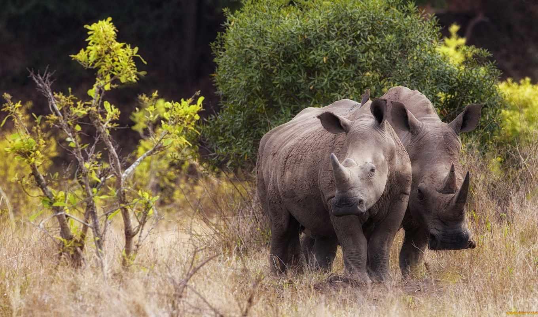 rhino, носорог, full, animal, фон,