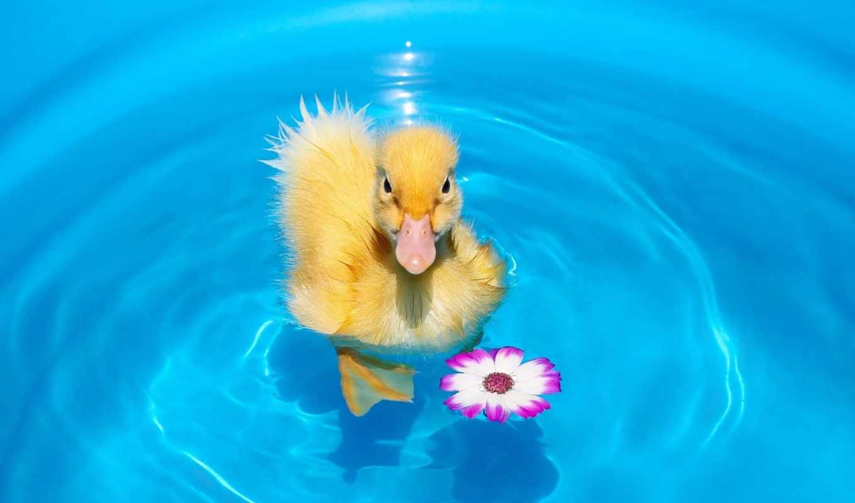 птенец, цветок, утенок, вода,