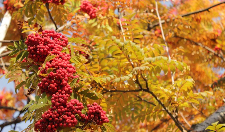 рябина, осень, красная, листья, желтые, природа, изображение, картинок,