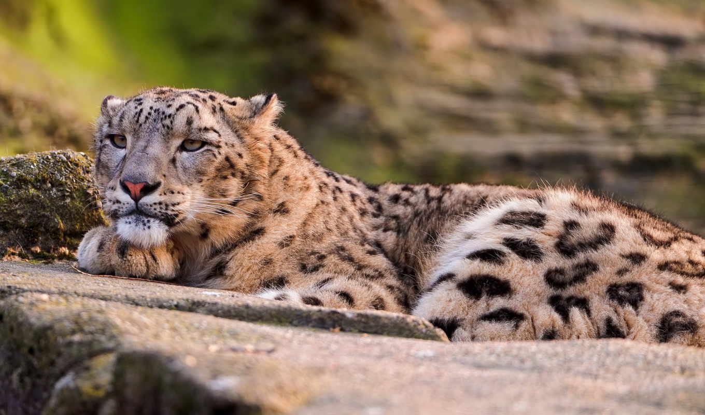 леопард, снег, большие, животные, кошки, морда,