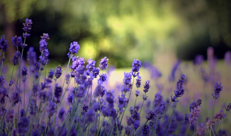 lavender, целикомв, свой, community, прочитать, цитатник, сообщения, цитата, июня, горная,