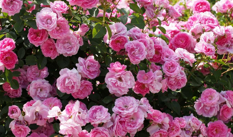 розы, куст, розовый, cvety, роз, большой,