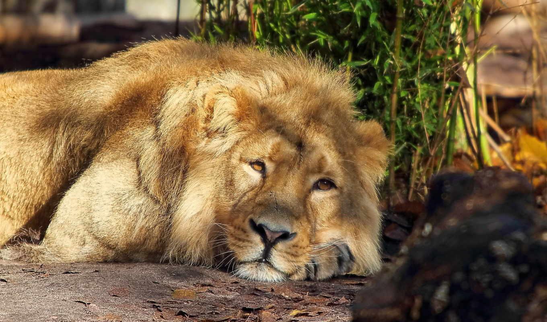 дек, lion, хищник, ложь,