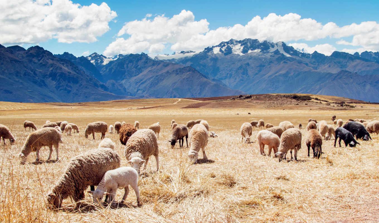 peru, sheep, поля, widescreen, paisajes,