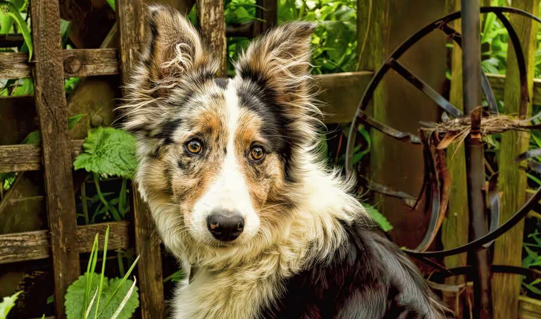 собака, порода, australian, овчарка, фон