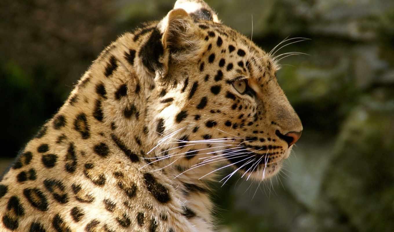 леопард, amur, кот, дикая, морда,