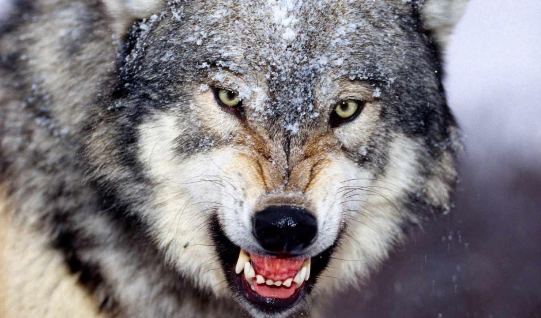 волк, ухмылка, клыки, winter,