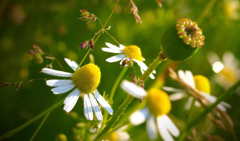 макро, цветы, ромашка, лето, мак,