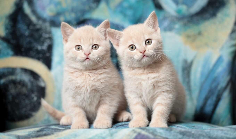 кот, british, shorthair, cute, котенок, sweetheart, миро