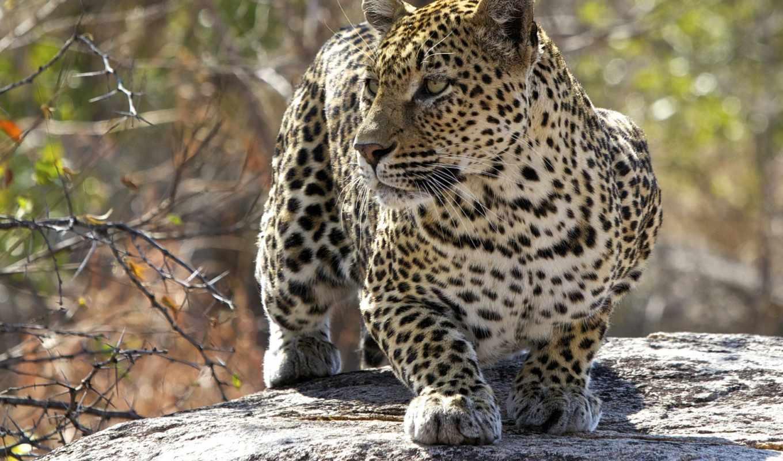обои, кошка, леопард, хищник, фото, leopard, качес