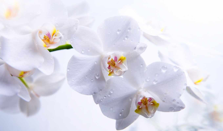 орхидеи, цветы,