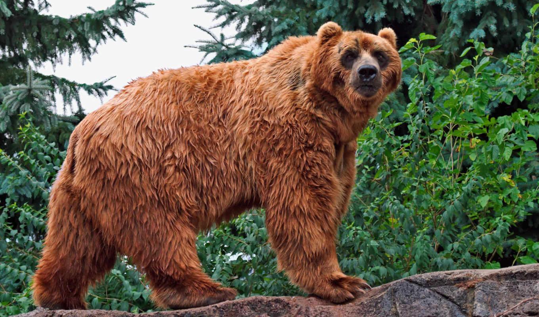 большой, мире, медведь, самый, кадьяк,