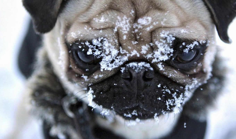 мопс, собаки, собака, снег, мопсы, winter, собачки, морда,